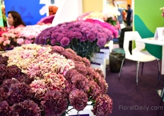 The new line of different colored carnations of SB Talee. They see a high demand for these colors, particularly in the Northern part of Europe.