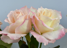 This is the Delicious from Schreurs. It's a new rose with a lovely fragrant.
