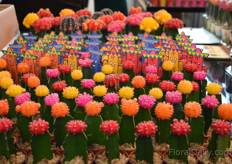 Colurful Cacti of Koduk Green House from South Korea.