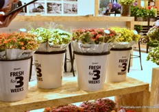 It still remains a challenge to show consumers that these flowers are flowering for such a long period. For this reason, Queen decided to present their kalanchoes in a bucket saying that the product flowers for 3 weeks.