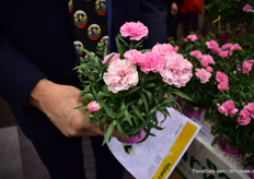 This is a new dianthus varieteit of Volmary. It is one plant with three colors.
