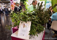 "Bailey Nurseries International also won a prize in the Novelty competition.In the Tub Plants Category, the expert commission decided on the Vitex trifolia 'Purpurea' x Vitex agnus-astus First Editions 'Flip Side' from Bailey Nurseries as the ""IPM Innovation 2019"". """"This monk's pepper is a particularly grateful shrub, popular with pollinators as it flowers well into autumn. Flip Side' is easy to cultivate, has good branches and is easy to cut. It is a powerful tub plant but also a great bee pasture in a near-natural garden."