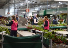 Handling of roses, roughly 100.000 per day, is a process requiring some pre-though with regards to logistics andautomation. That's why Aleia installed two Bercomex Furora flower bunching machines