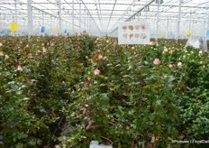 Aleia Roses solely produces Red Naomi. However, like about any rose grower, the grower experiments with new colours and varieties.