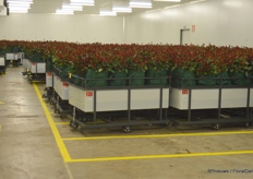 Right after harvesting, roses are transported into the cooling facilities.