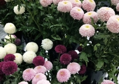 Some of the chrysanthemum flowers on display