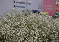 The gypsophilas of Ball.