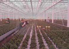 For each department, depending on the crop, screens, lamps and even the entire greenhouse layout is tailor-made. Here, in the cyclamen department, investments have also been made in LED.