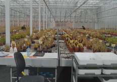 An image that you don't often see: tables full of dead plants. Yet nothing special is going on here: the plants have done their work, the propagation has been done and now they are, literally, ready.