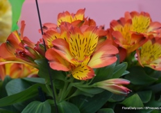This is their Alstroemeria for in the garden. It's a really ourdoorplant, for now it's still just a number (PB1506).
