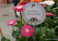 This is the Garvinea from Florist Holland and is a real outdoor plant and is the first one that has a dubbel flower.