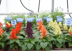 Also 4 new colors in the Salvia series. Next to the red, now also purple, salmon, white and red bi-color.