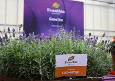 The new Lavendula Cleo Patio of Evanthia. This variety, from seed, is a compact Lavendula and a first year flowering product.
