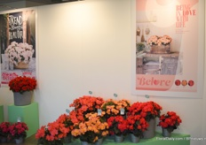 This is Belove out of the Elatio line of Koppe Begonia, from left to right: Pink, Peach and Cherry.