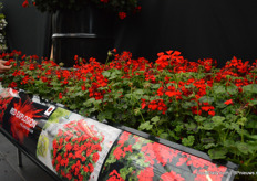 Red |Explosion. This pelargonium variety of Florensis, that also competed in the Fleurostar awards, has dark foliage, bright red flowers and does not require PGR's and is self-cleaning. At the IPM 2019 is was introduced for the first time.