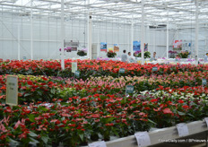 Inside the trial greenhouse of Anthura, both the Anthuriums and Phalaenopsis are on display.