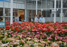 The anthuriums in the trial greenhouse of Anthura.
