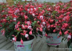 "New in the Jollies are the Fuchsias with small flowers. ""We already have a good assortment of big flowers and we are now expanding our assortment with these more compact, smaller and early flowering and good branching varieties."" Hubert Brandkamp says."
