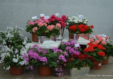 A few years ago, Brandkamp started with the breeding of pelargoniums, now, they have about 10 zonale varieties and 8 peltatum varieties. At this years FlowerTrials, they introduced three new varieties.