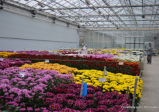 Inside, the cut chrysanthemums of Armada form a lovely sea of colors.