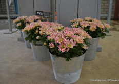 "A novelty of Armada is Pot Chrysanthemum Beauty Elegant Pink, a variety exclusively by Theo Nederpelt. ""The bi-color is what makes it so unique."""