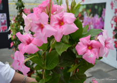 Turmaline Pink is another variety of DHMI which has an upright growth (60-70 cm), does not climb and does not need support.