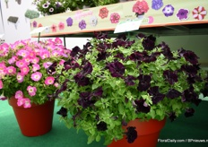 Top-tunia is the own brand of Padana. It comes from own breeding and they have three types, the regular types with regular colors, the trialing varieties and the Special colors. Dark Velvet is new. On the left side is Neon Morn. These varieties are compact but exceed in a larger pot. In this 35 cm pot for example, only 3 plants are used, explains Caccia.