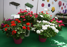 Sansone is a new line of interspecific pelargoniums. Also these pelargonium varieties come out of Padanas own selection and are according to Caccia very strong and resistant.  They are proud to present a white variety as it is a difficult color in pelargoniums.