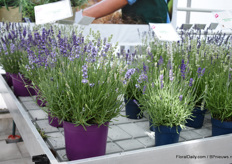 "The Lavendula ang. BeeZee is a new lavendula of Hishtil. ""It is a new hardy compact and exiting angustifolia series with similar characteristics and tons of flowers that will attract and keep bees busy during the long flowering season."""