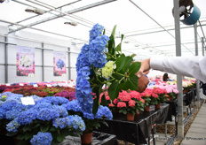 At Agriom, they have over 150 varieties over hydrangeas and in the years of breeding, they invested in creating a strong hydrangea with stems that do not need support and hydrangeas with a long shelf life. This picture shows how strong the stems are.
