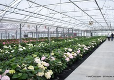 Besides pot plants, they are also working on breeding cut hydrangeas. In this part of the greenhouse, which they bought 2 years ago, they show the varieties to their growers.