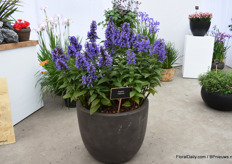 Neptune Nepeta of Plantipp is an annualized perennial that is winter hardy. It does need cold to flower the first year, has large flowers, scented leaves and is attracts pollinators.