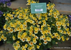The Goldstar is a new variety added to the Bacopa assortment, a novely not having the rooting problems its predecessors had.