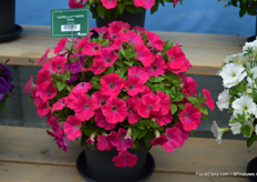 Yet another novelty in the petunia assortment, the petunia Capella Neon Pink