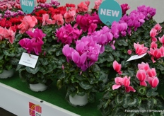 Next to new introductions to the Metalis and Tianis series, also in Helios again a few new varieties were added. Among others, we here see the 'litchi' (on the right) and the 'flame' (pink with white line, on the left)