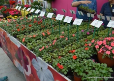 As some of its competitors, PanAmerican Seed managed to develope new Impatiens varieties resistant to mildew.