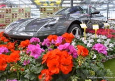 Some beautiful flowers, these are the Trend Red Scarlet and the Medio Amethyst. You'll almost miss the Ferrari in the background.