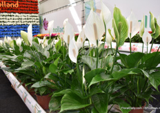 And another nice novalty is this Spathiphyllum, with a big flower. When the flower gets old it turns green so its keeps his ornamental value.