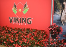The Viking Begonia of Sakata, they have it in two varieties; Red of Chocolate and Pink of Chocolate.