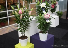 First of all at the stand of Van den Bos Flowerbulbs is this beautiful Rose Lily(at the right side). The genetics of this plant are breed to get a short compact plant.