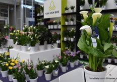 Number two is the Calla Ivory Art. This is the newest variety of Könst but Van den Bos Flowerbulbs has exclusive rights to sell this beauty.