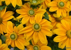 This is the Rudbeckia Sunbeckia Ophelia from AllPlant from upclose.