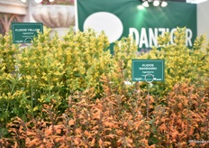 The Agastache series of Terra Nova Nurseries at the Danziger booth.