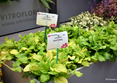 Virtoflora also won a price with one of their varieties, namely Ajuga reptens Gold Chang.