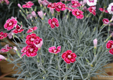 Flutterby of Whetman Plants International. This mound-forming, evergreen-dianthus with grey-green foliage and  patterned magenta flowers was Chelsea Plant of the year Finalist 2019.
