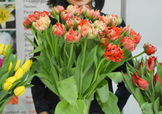Alisa with her personal favorit the Tulipa Gudozhnik Double.