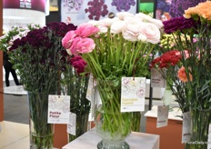 Two new varieties of SB Talee. Petite Fleur is a new carnation varitey and Success Hanoi is one of their new ranunculus varieties – a crop they started breeding recently. On top of that, they also recently started breeding alstroemeria.