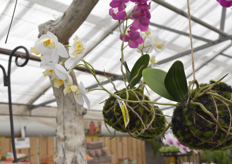 Orchids hanging from a tree, ripe for the picking