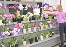 Phalaenopsis plants are still a crowd pleaser - pink seems to be in fashion.