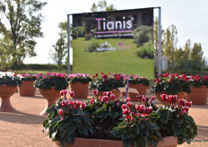 "Tianis is the series in which the most plants are in that are suitable to place outdoors. At Morel, when a variety can be placed outdoor, it gets the label ""Outstanding"""